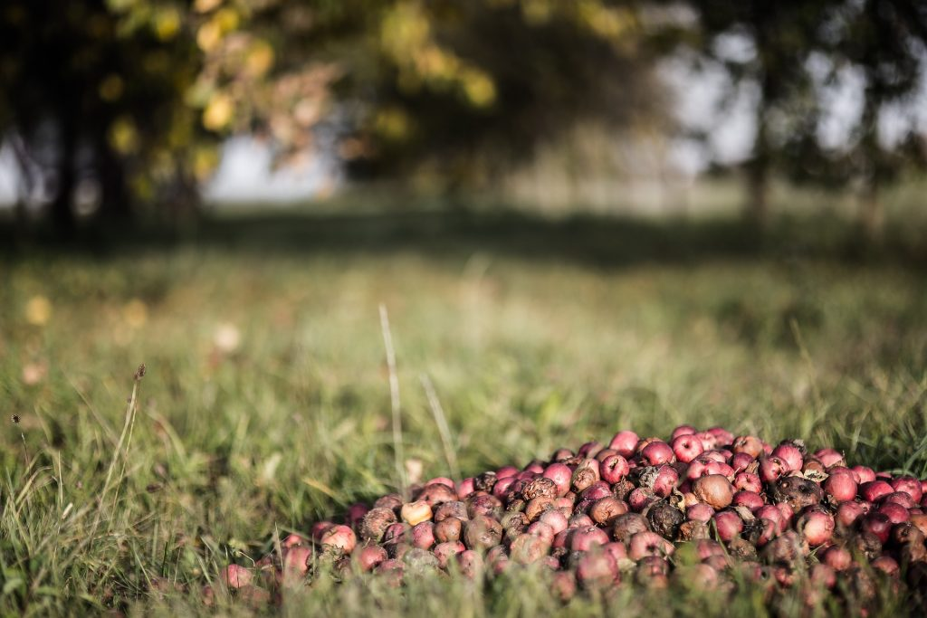 Apples Composting On The Ground | Reusaboo